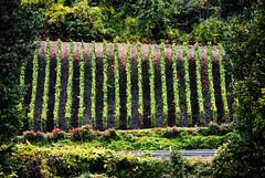Rhine Valley Vineyard (Mark Wordy) Tags: river germany deutschland vineyards grapes rhein slope rhinecruise