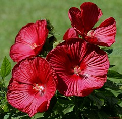 Dreaming Of Summer (Diane Marshman) Tags: flowers red summer flower green leaves bush blossom hibiscus bloomer late tall blooms shrub perennial blooming coth5
