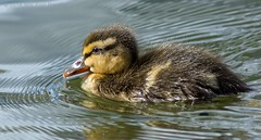 J77A0858 -- The first Duckling in 2014 (Nils Axel Braathen) Tags: france nature birds canon duck wildlife duckling mallard canard fugler oiseaux autofocus stokkand levsinet canardcolvert andunge avianexcellence vogeln gnneniyisithebestofday canon5dmarkiii fugitivemoment mygearandme mygearandmepremium ringexcellence dblringexcellence infinitexposure