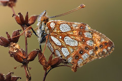 Queen of Spain Fritillary (johnhallmen) Tags: macro butterfly insect naturallight lepidoptera nymphalidae issorialathonia canonmpe65 canon5dmkii zerenestacker