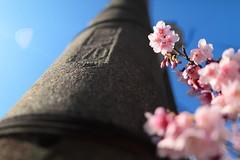 ~  SAKURA Cherry blossoms  ~ (PS~~) Tags: travel pink light white plant flower tree sunshine composition sunrise canon spring natural bokeh taiwan bee zen bloom sakura cherryblossoms taipei    pure  hanami                          visitinthespring ret