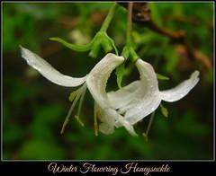 Winter Flowering Honeysuckle (Dave Roberts3) Tags: park white flower macro wales droplets drops spring newport raindrops honeysuckle bellevue gwent lonicera naturethroughthelens