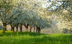 Les couleurs du printemps (blogspfastatt (+2.000.000 views)) Tags: white tree nature season spring blossom arbre blanc printemps eyecatching saison blogspfastatt