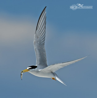 Tern with Fish_4752-101