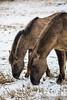 20170211-IMG_2631 (SGEOS AT EARTH) Tags: schotse hooglander highland cattle scottish oerossen wildlife nature outdoor observer canon konikpaarden wilde paarden konik polish