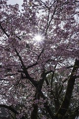 Wednesday, 1st of March, 2017 (Masayuki Haruta) Tags: 桜 梅 cherryblossoms plims 富士宮 静岡 日本 fujinomiya shizuoka japan fujisan hongu sengen taisha 富士山本宮浅間大社
