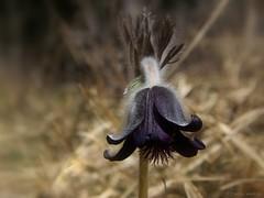 Pulsatilla nigricans (andraszambo) Tags: flower pulsatilla nigricans pulsatillanigricans black nature ranunculaceae hungary macro