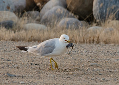 DSC_0498 (janelle.streed) Tags: ringbilledgull gull bird avian animal wildlife animalbehavior eating nature outdoors northdakota usnwr