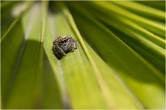 DSM_2560- (alaing40_photos) Tags: saltique carrhotus araignée arachnide