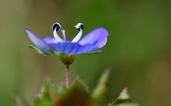 Common field Speedwell (vause_gary) Tags: veronicapersica weeds arableweeds macro closeup