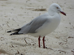 P1020339 (gordonduffus) Tags: silvergull