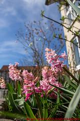Hyazinthen (Stefan's Gartenbahn) Tags: garten hyazinthen hyazinthe hyacinthus blume blumen pflanze pflanzen blüte blüten frühling frühlingsboten