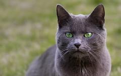 SIVA Portrait (Aufklatscher) Tags: katze cat chat outdoor garten garden grün green grüneaugen greeneyes cateye katzenauge grau grey animal tier pet haustier hauskatze ekh