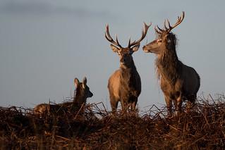 Red Deer 06 Derbyshire 06-03-17 Ian W
