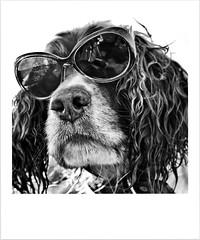 Dude looks like a Lady! (Missy Jussy) Tags: mollie molliemunch dog pet englishspringer springerspaniel spaniel animal cool sunlight sunglasses canon canon5dmarkll canon50mm 50mm photographer portrait dogportrait funny smile littledoglaughednoiret