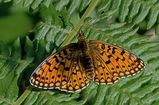 Boloria selene - the Small Pearl-bordered Fritillary