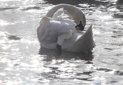 Mute Swan (jdathebowler Thanks for 1.34 Million + views.) Tags: cygnusolar muteswan autofocus avianexcellence naturethroughthelens coth brilliantnature eblouissantenature coth5