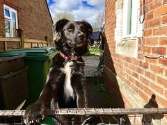 Flurry (heathernewman) Tags: brickhouse garden blue green black cute baby spring sunshine pet animal dog puppy