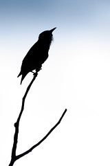 Wishbone Starling (Neil_Wagner) Tags: bird starling silhouette wishbone branch minimalist sunset