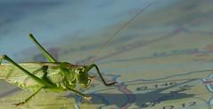 Saint-Avit isn't far away any longer (pe_ha45) Tags: heuschrecke grasshopper sauterelle cavalletta saltamontes gafanhoto sprinkhaan landkarte kaart map carte mappa midipyrénées