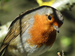 This little Robin was following me for ages, keen to have him photo taken. (stevencarruthers93) Tags: greenheart wigan wiganflashes nature wildlife photography outdoors spring