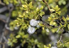 Creosote Bush and Fruit (charles25001) Tags: creosotebush plant oldest fruit jacumba