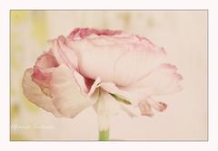 Vive le printemps (Champpommier) Tags: fleur renoncule momentsenchantes pentax k10d nature