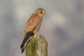 Gheppio - Falco tinnunculus