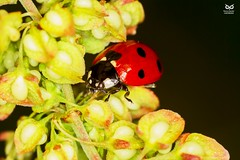 Joaninha, Ladybird (Coccienella septempuntat) (xanirish) Tags: joaninha ladybirdcoccienellaseptempuntatmacronunoxavierlopesmoreira ngc wildlife nuno xavier moreira liberdade selvagem portugal insects macro small insectoa insectos