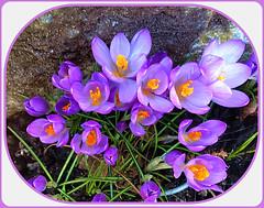 Winter's End (FernShade) Tags: vancouver westcoast pacificnorthwest crocus purplecrocus flowers flora spring springtime nature
