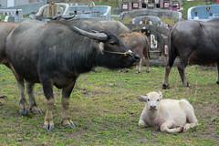 Graveyard Calf 2 (Bob Hawley) Tags: nikond7100 nikon2870mmf3545afd asia pingtung taiwan outdoors xuhai animals bubalusbubalis domestic farming agriculture cemeteries graveyards juvenile