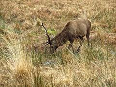 8521 Red deer stag eating nnear Kingairloch (Andy - Busyyyyyyyyy) Tags: 20170318 aaa antlers day9 ddd morvern reddeer rrr scotland sss stag