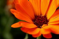 (juanmartinypunto) Tags: naranja tajete flor