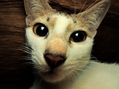 Cute Cat (esavitri) Tags: pet cute cat lucu kucing binatangpeliharaan