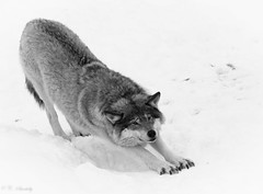 Stretching out (nemi1968) Tags: wild blackandwhite bw canon wolf stretching wolves langedrag wildwolf ef70200mmf4lisusm