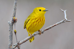 They Call Me Mellow Yellow (PeterBrannon) Tags: nature novascotia wildlife perched songbird yellowwarbler yellowbird warbles hartlenpoint avianexcellence setophagapetechia