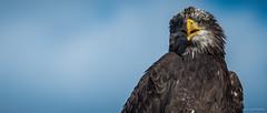 Eagle (Alexandre LAVIGNE) Tags: portrait nature photography photo eagle pentax format marche oiseaux aigle 2351 rapaces fauconnerie louisengival pentaxk5iis k5iis format235