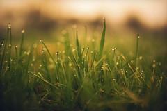 morning (L. Paul) Tags: morning green grass lens earlymorning sigma dew morningdew greengrass sigma35mmf14 canon5dmarkiii sigmaart sigma35mmf14a sigmaartseries