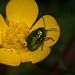 Cryptocephalus sericeus, Hammelrain, Lens Nikon 105mm f-2.8G IF-ED AF-S VR Micro Nikkor, Ranunculaceae, ranunculus auricomus.jpg