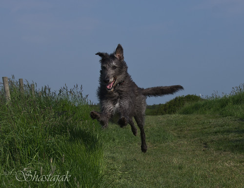 Levitating Deerhound