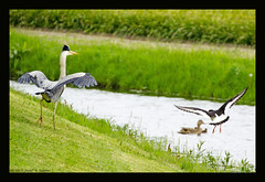 birds (xlod) Tags: vacation bird heron nature water netherlands animal duck wasser urlaub natur oystercatcher mallard ente grayheron tier vogel niederlande mallardduck reiher julianadorp graureiher stockente austernfischer