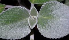 Plectranthus argentatus (dustaway) Tags: plants nature leaves australia nsw buds hairs plectranthus lamiaceae northernrivers plectranthusargentatus australianplants silverplectranthus