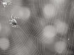 charlottes web (Sabelinhaa) Tags: blackandwhite bw nature spider bokeh web bugs bn araa olympuspen naturelovers telaraa