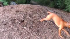 20130709.159.Jasper.Plays.ChaseMe.With.A.Mystery.Vizsla (rlg) Tags: rescue dog male animal mystery mammal video mutt jasper texas july vizsla 09 tuesday gf mov fpr 0709 chaseme 2013 nikonp510 28nov09 201307 jasperrg 07092013 20130709
