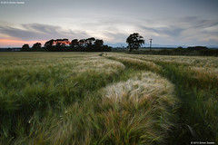 Ashes gloaming (SwaloPhoto) Tags: trees field barley zeiss scotland fife availablelight farming silhouettes ashes agriculture tramlines ze culross gloaming telegraphpoles ochilhills canoneos5dmkii distagont2821 gallowsloan distagon2128ze