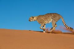 20130616_Namibia_Kiki_at_Dunes_0205.jpg (Bill Popik) Tags: africa kiki mammals namibia cheetahs 2places 3animals africancats
