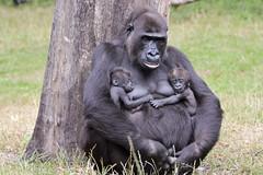 N'Gayla with her twins (K.Verhulst) Tags: twins gorilla arnhem ape monkeys nl burgerszoo apen tweeling ilikeit gateofparadise supershot mensaap fantasticnature alittlebeauty ruby5 sunrays5 vigilantphotographersunite vpu2 vpu3 vpu4 vpu5 vpu6 vpu7 vpu8 vpu9 vpu10