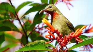 Ruby Cheeked Sunbird (Anthreptes singalensis)Female