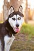 Banzai (Gertrude139) Tags: blackandwhite dog happy husky siberianhusky sibe bieyed partieye arcticbreedrescue