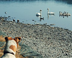"""Holly and the feathered """"Pet Correctors"""" (Squatbetty) Tags: holly swans jackrussell daft coniston jackrussellterrier cygnets thebee conistonwater hollybee parsonjackrussell piercottage"""